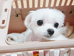 カコブリーダーでは夜中の出産もサポートしています。大切な子犬を守るために頑張ってます