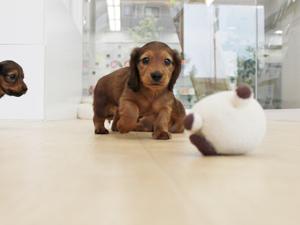 カコブリーダーで生まれたミニチュアダックスフンドの子犬がおもちゃで遊びました