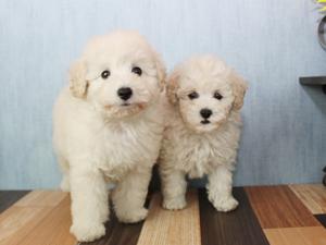 カコブリーダーで生まれた子犬たちは毎週土曜日に写真撮影を行いホームページの最新仔犬情報に掲載しています