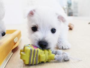 カコブリーダーで生まれた子犬たちがおもちゃで遊びました