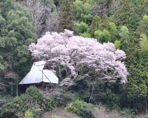 長平庵の桜
