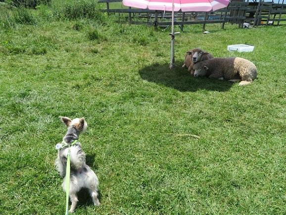 1R01 羊さん 0804
