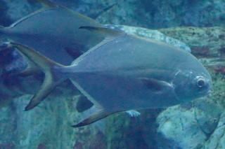 マルコバン(海卵)
