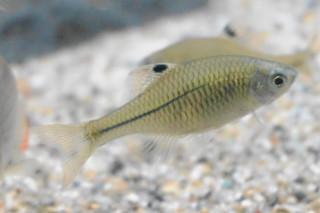 カゼトゲタナゴ雌(湧水)