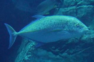 カスミアジ(海卵)