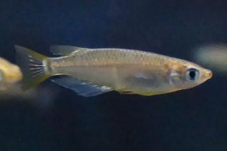 ミナミメダカ雄(海卵)