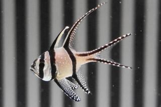 プテラポゴン・カウデルニィ(海卵)