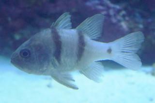 ヨコスジイシモチ(海卵)