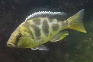 ニンボクロミス・ベネスタス雌(タワ)