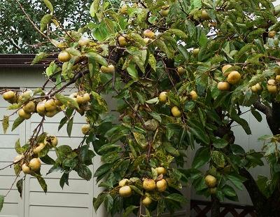 180920柿の木