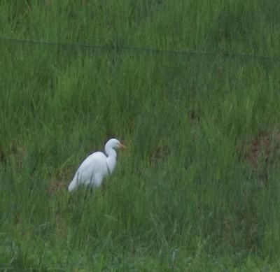 180920田圃のサギ
