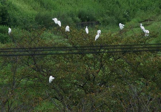 180915桜の木のサギ