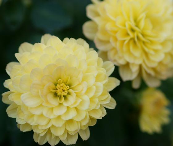 181009小菊
