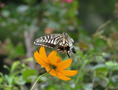 清水蝶たち(水) 2018-09-12 048