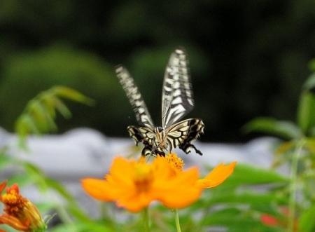 清水蝶たち(水) 2018-09-12 050