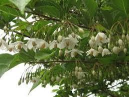 エゴノキの花yjimageCG3W78L0