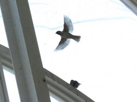 飛ぶ雀 2018-10-09 039