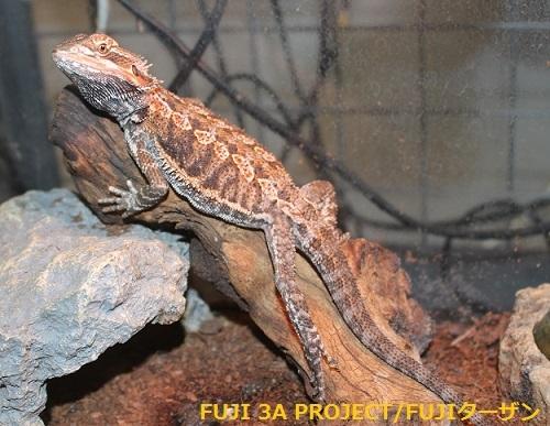 フトアゴヒゲトカゲ (3)