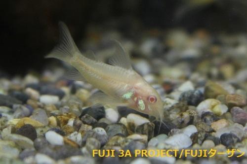 コリドラスアルビノロングフィンパレアタス