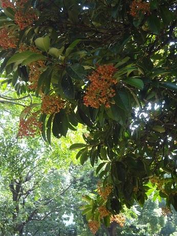 日比谷公園珊瑚樹