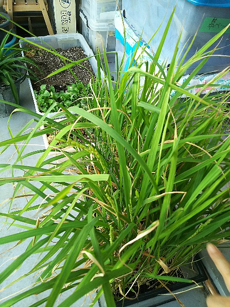 ベランダの稲