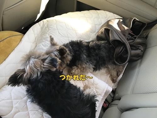 疲れたミニモコ