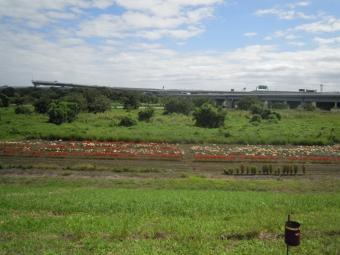 相模川沿いでヒガンバナ180923