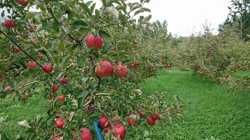 リンゴの木(ブログ)