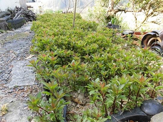 4月フジバカマの花壇 pe