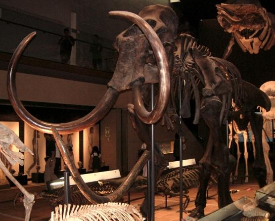 マンモス化石