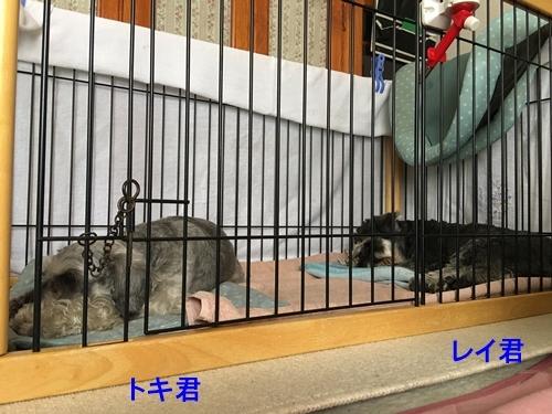 トキ君&レイ君2018年8月11日1