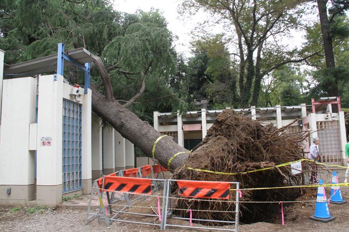 20181003井の頭公園台風24号で根本から倒れた木