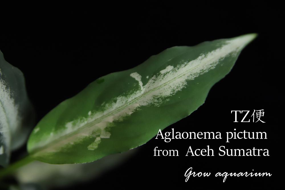 アグラオネマ ピクタム from アチェスマトラ[Aglaonema pictum from Aceh Sumatra] TZ便-[Z6]
