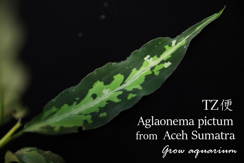 アグラオネマ ピクタム from アチェスマトラ[Aglaonema pictum from Aceh Sumatra] TZ便-[Z0]