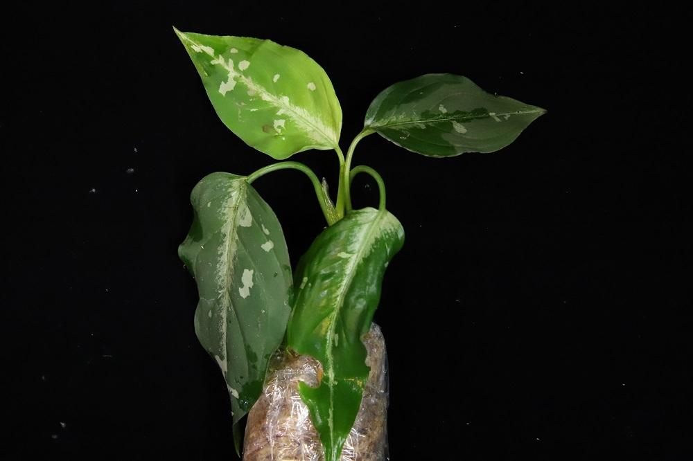 アグラオネマ ピクタム 中央アチェ[Aglaonema pictum central Aceh Sumatra]TZ便