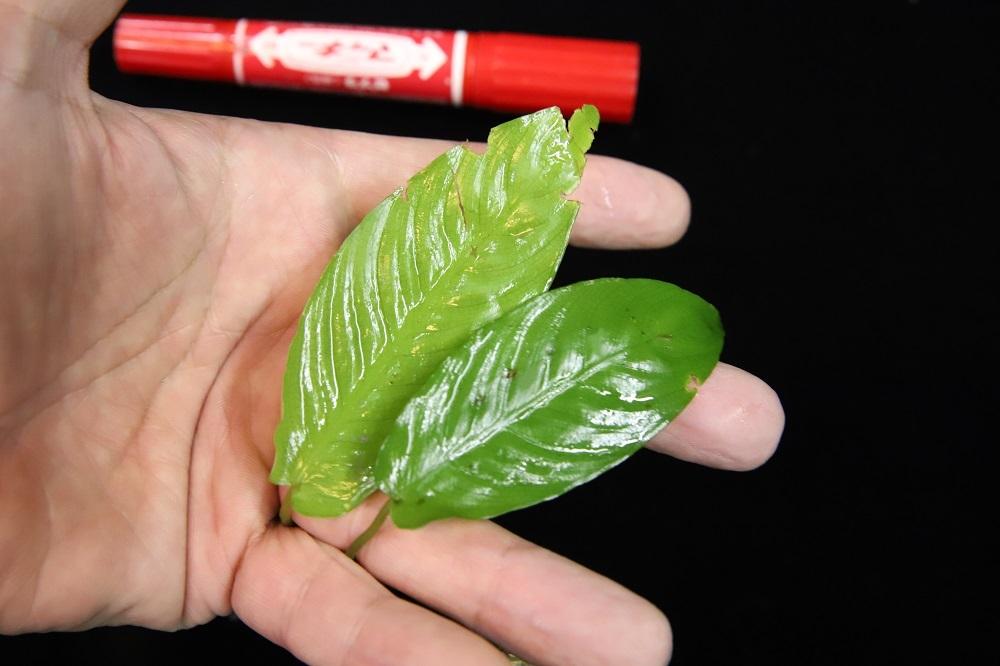 スキスマトグロッティスsp.中央アチェ[Schismatoglottis sp.central Aceh Sumatra]