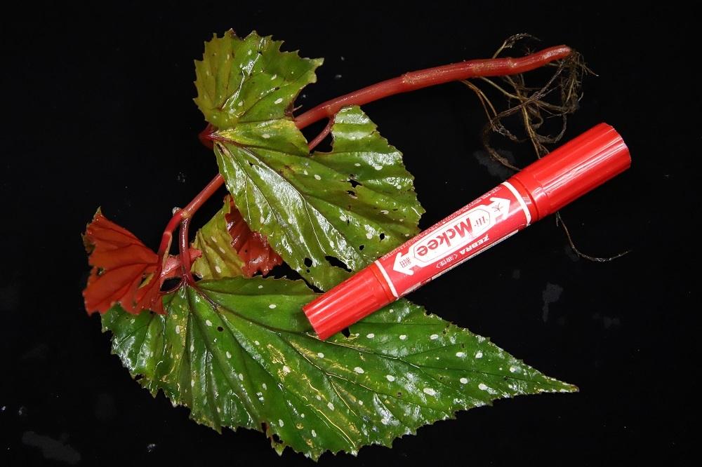 ベゴニアsp.中央アチェ[Begonia sp.central Aceh Sumatra]TZ便