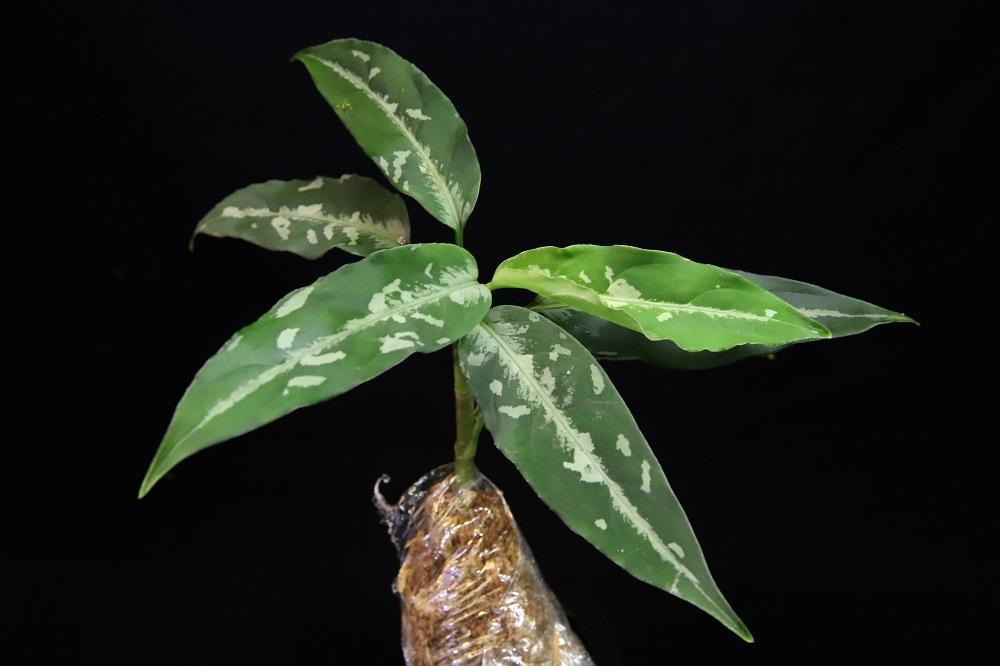 アグラオネマ ピクタム アチェ北[Aglaonema pictum north Aceh Sumatra]TZ便