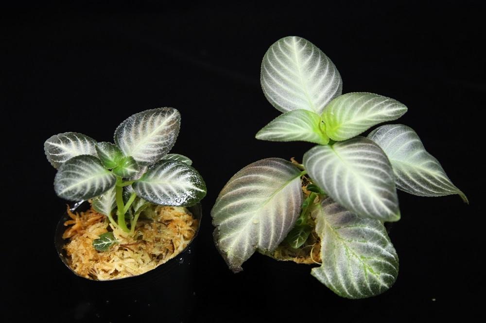 アカンサセアエ sp.[Acanthaceae sp. 西カリマンタン州]
