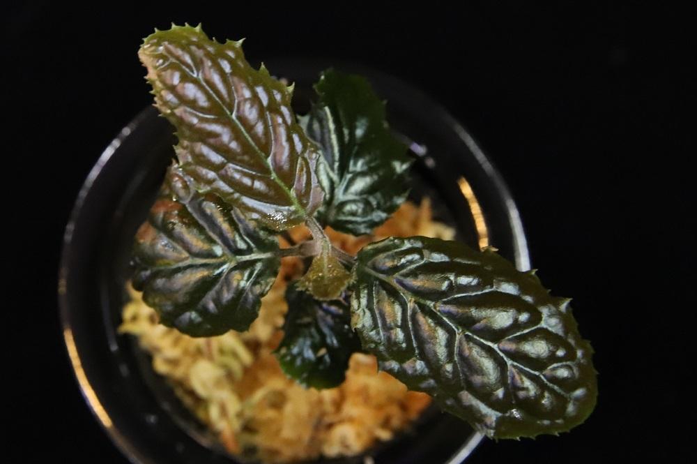 アルディシア sp.ベンクル[Ardisia sp.Bengkulu] LA便