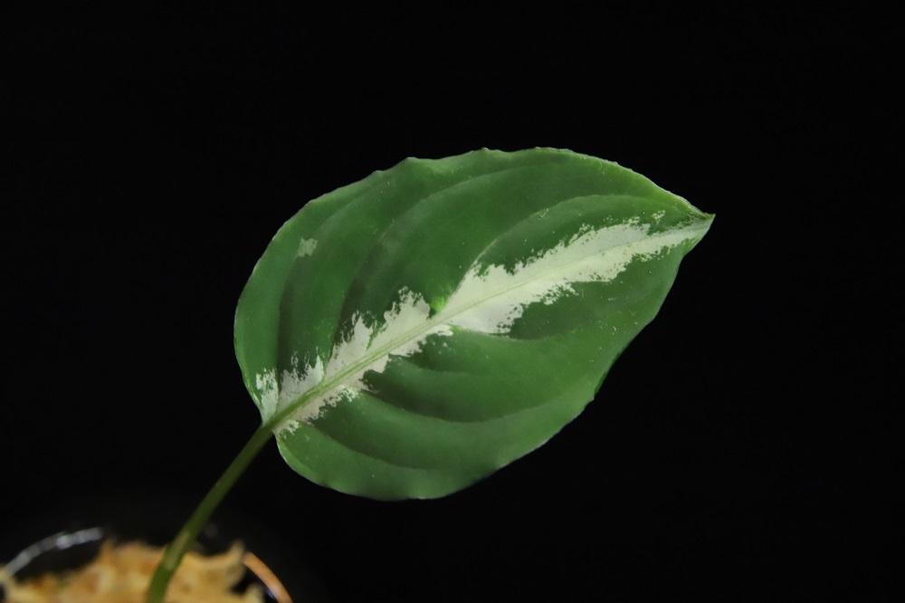 アグラオネマ ピクタム クロノス[Aglaonema pictum Kronos]