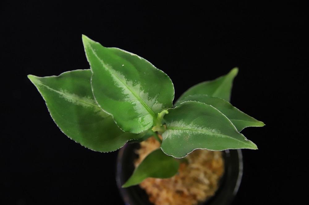 アグラオネマ ピクタム パダン[Aglaonema pictum Padang]<br />