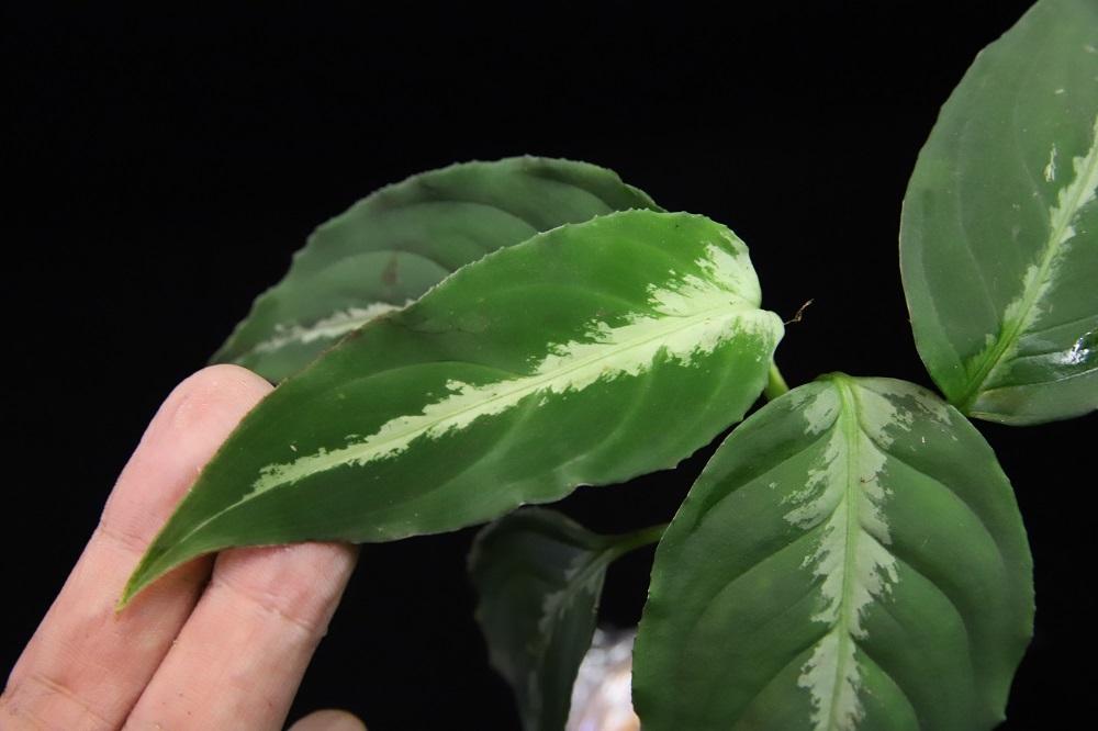 アグラオネマ ピクタム 中央アチェ[Aglaonema pictum central Aceh Sumatra]TZ便-27
