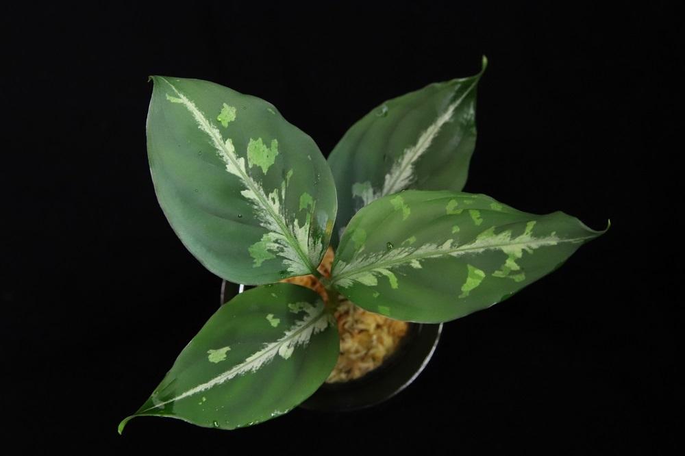 アグラオネマ ピクタム セツナ[Aglaonema pictum