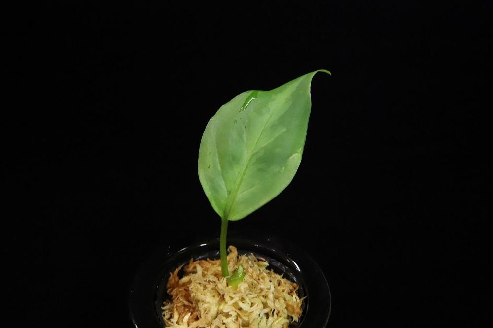 アグラオネマ ピクタム トリカラー緑3色 [Aglaonema pictum tricolor緑3色]LA便