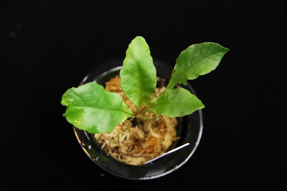 レプトキルス sp.フィリピネス[Leptochilus sp. Philippines]