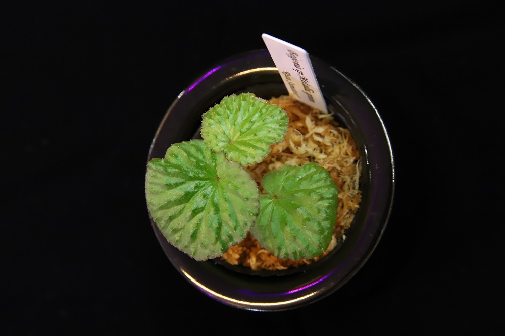 ベゴニアsp.メタリックグリーン[Begonia sp.Metallic green]