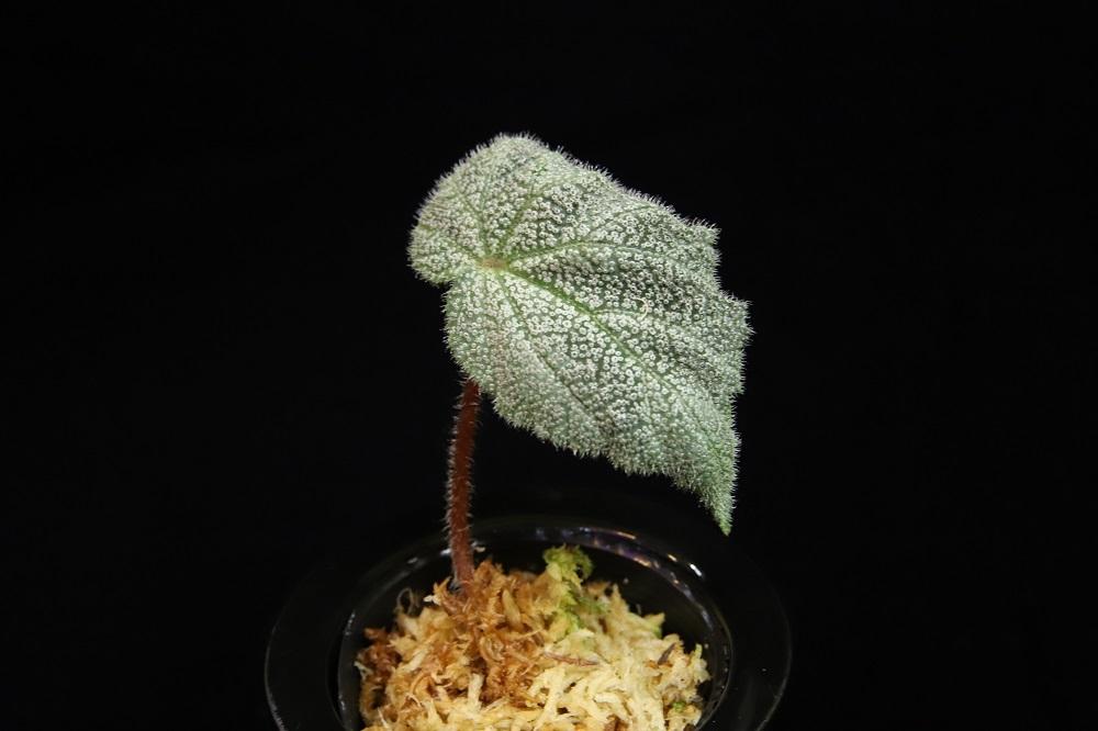 ベゴニア ニンミンエンシス バー・ベラ[Begonia Ningmingensis var.bella silver