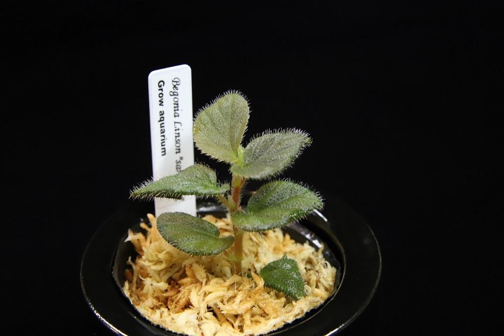 ベゴニア リンソン サラワク[Begonia linson]
