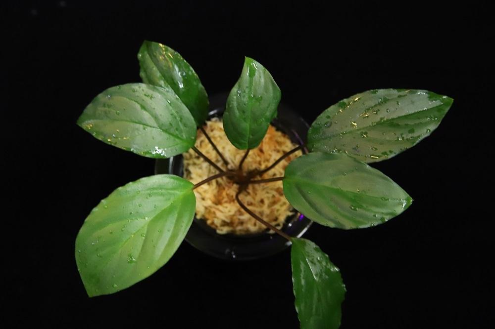 ホマロメナsp.スラウェシグリーン[Homalomena sp. Sulawesi Green]